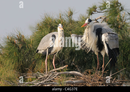 Grey Heron Ardea cinerea Adults displaying at nest Photographed in the Camargue, France - Stock Photo