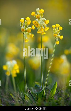 Cowslip (Primula veris), flowering on meadow, North Hessen, Germany - Stock Photo