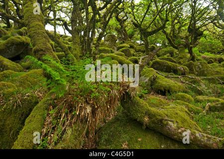 Sessile oaks and moss in Wistman's Wood Dartmoor Devon England UK GB British Isles - Stock Photo