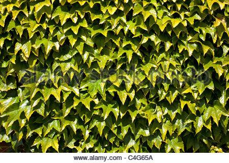 Virginia Creeper - Parthenocissus quinquefolia - Stock Photo