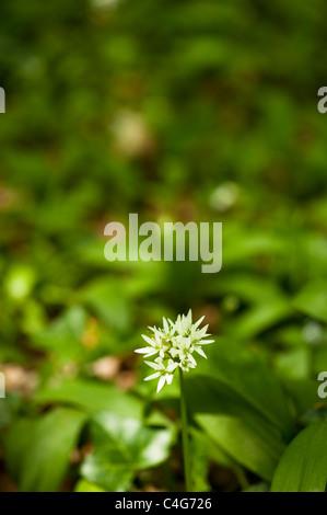 Wild garlic, Allium ursinum - Stock Photo