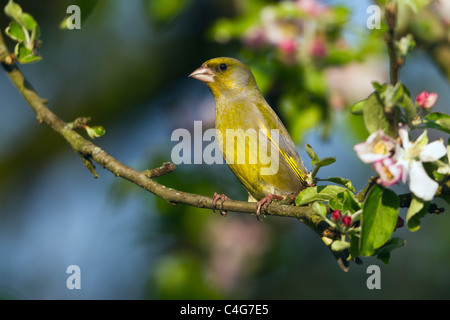 Greenfinch (Carduelis chloris), perched on apple tree branch, Lower Saxony, Germany - Stock Photo