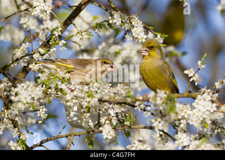 Greenfinch (Carduelis chloris), pair perched on blackthorn branch, Lower Saxony, Germany - Stock Photo