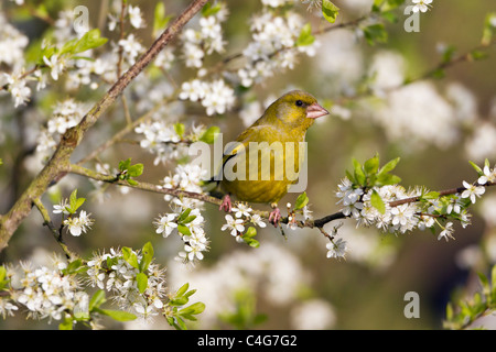 Greenfinch (Carduelis chloris), perched on blackthorn branch, Lower Saxony, Germany - Stock Photo