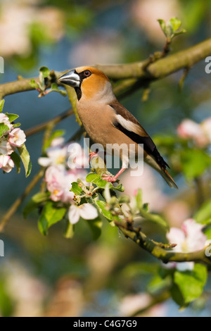 Hawfinch (Coccothraustes coccothraustes), perched on apple tree branch, Lower Saxony, Germany - Stock Photo