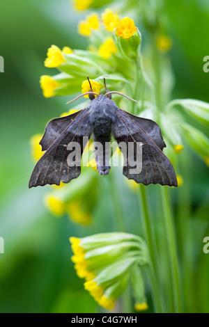 Poplar Hawkmoth (Laothoe populi), resting on flower in garden, Lower Saxony, Germany - Stock Photo