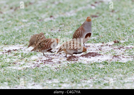 Grey Partridge (Perdix perdix), four birds searching for food on cornfield in winter, Lower Saxony, Germany - Stock Photo