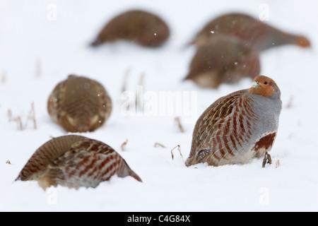 Gey Partridge (Perdix perdix), covey on snow covered field, Lower Saxony, Germany - Stock Photo