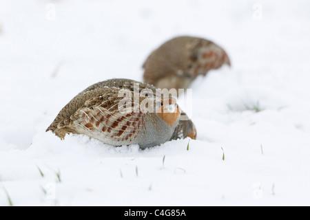 Grey Partridge (Perdix perdix), covey feeding on snow covered field, Lower Saxony, Germany - Stock Photo