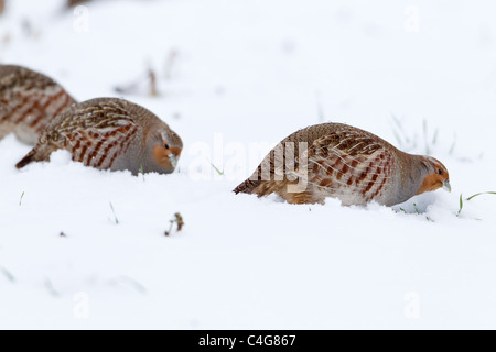 Grey Partridge (Perdix perdix), feeding on snow covered field, Lower Saxony - Stock Photo