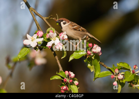 Tree Sparrow (Passer montanus), perched on apple tree branch, Lower Saxony, Germany - Stock Photo