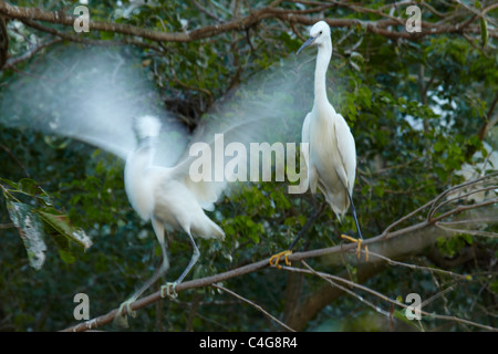egrets in the trees nr Can Tho, Mekong Delta, Vietnam - Stock Photo