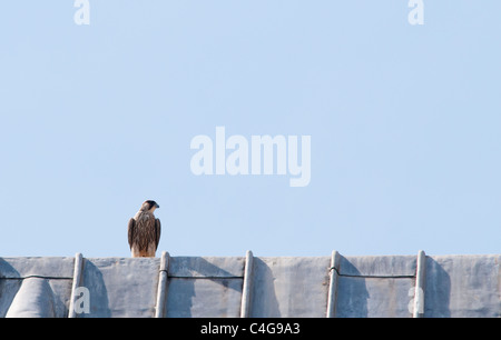 Juvenile Peregrine Falcon (Falco peregrinus) perched on top of lead roof on Lincoln Cathedral - Stock Photo