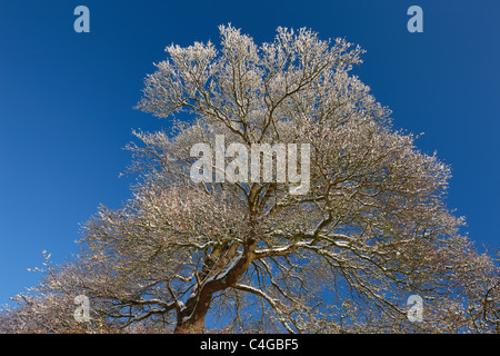 frost and snow on the trees nr Milborne Port, Somerset, England - Stock Photo