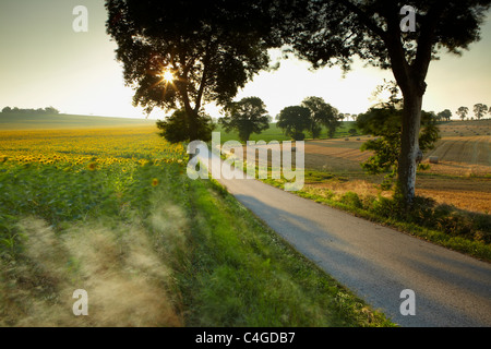 a field of sunflowers blowing in the wind near Castelnaudary, Aude, Languedoc-Roussillon, France - Stock Photo