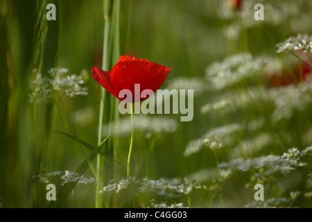 poppies in the Valnerina nr Campi, Umbria, Italy - Stock Photo