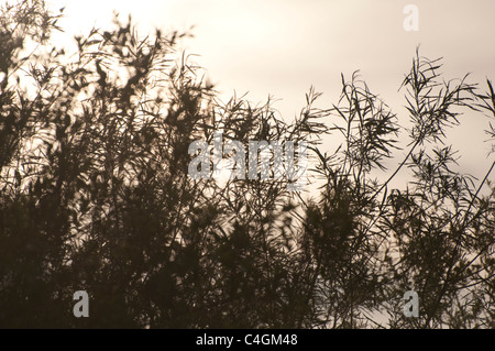 Willow Trees in silhouette with movement and sepia effect. UK - Stock Photo