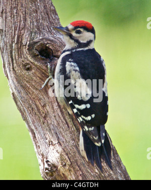 Greater Spotted Woodpecker (Dendrocopos major) sometimes called Great Spotted Woodpecker a native of the UK a woodland - Stock Photo