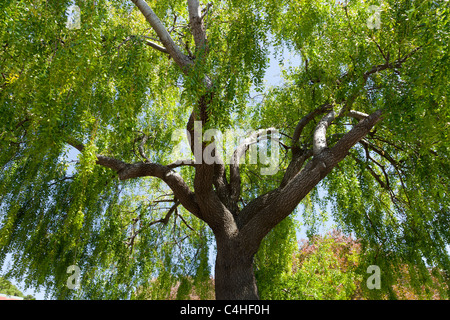 Close up large green weeping Willow tree, Salix Bebbiana,  thick trunk, branches blown by wind bright green leaves - Stock Photo