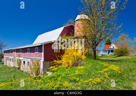 A barn with spring Forcythia bushes on the Old Mission Peninsula near Traverse City, Michigan, USA. - Stock Photo