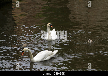 Swans with cygnets. A pair of Mute Swan (Cygnus olor) adults keep close watch over their young. - Stock Photo