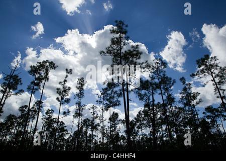 Slash pines and cumulus clouds, Pinus elliottii, Pinelands, Everglades National Park, Florida, USA - Stock Photo
