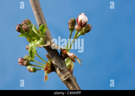 Wild cherry / Sweet cherry (Prunus avium) buds bursting, and flowers emerging in spring, Belgium - Stock Photo