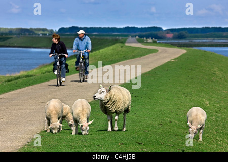 Sheep ewe (Ovis aries) with lambs and two cyclists riding their bicycles on dyke, The Netherlands - Stock Photo