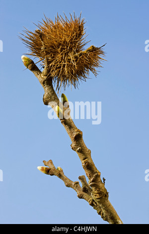 Sweet Chestnut / Marron (Castanea sativa) branch with buds and old husk in spring - Stock Photo