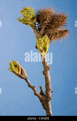 Sweet Chestnut / Marron (Castanea sativa) buds with leaves emerging and old husk in spring - Stock Photo