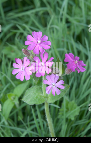 Red Campion (Silene dioica) Sussex, UK. April . Along the edge of the main road beside Woolbeding gardens. - Stock Photo