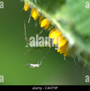 Common nettle aphid (Microlophium carnosum) with its moult and the eggs of the seven-spotted ladybird ((Coccinella - Stock Photo