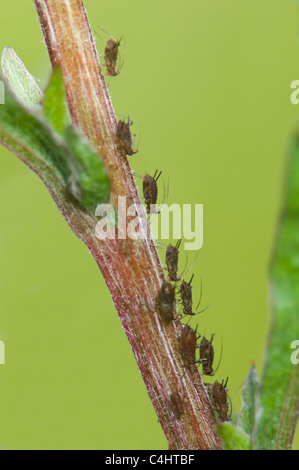 Common nettle aphids (Microlophium carnosum), France - Stock Photo