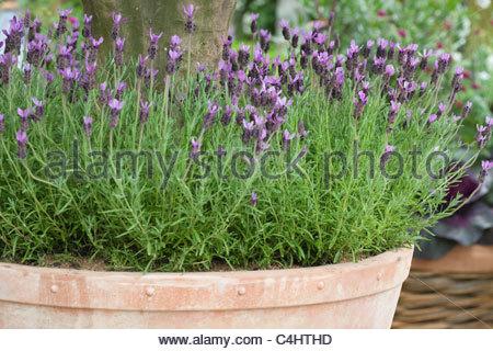 lavender in pot stock photo royalty free image 68575639 alamy. Black Bedroom Furniture Sets. Home Design Ideas