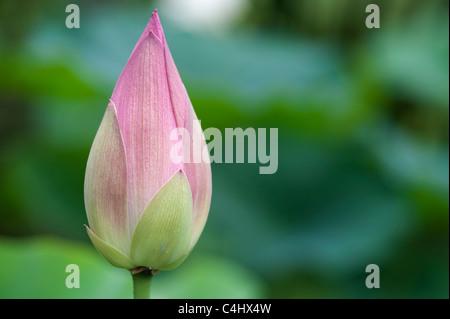 Nelumbo nucifera 'Baby Doll' . Lotus flower in bud - Stock Photo