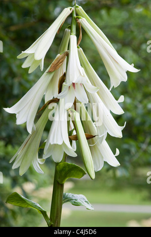 Lilium regale Regal Lily flowering in early July