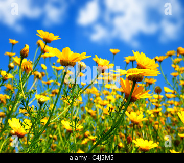Spring field of yellow fresh daisies over blue sky, nature at summertime - Stock Photo
