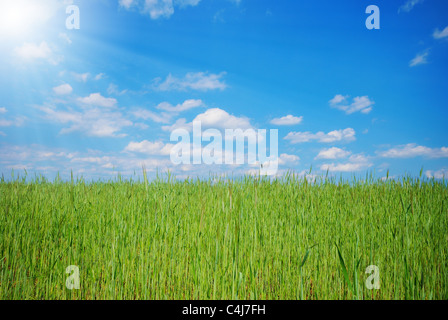 Green wheat field under cloudy sunny blue sky - Stock Photo