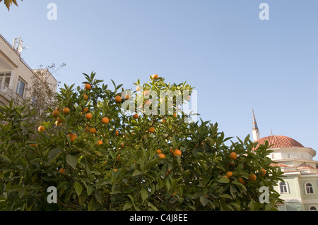 orange oranges fresh growing on tree trees in turkey grove groves - Stock Photo