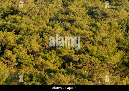 pine forest forests conifers conifer tree trees wood woods evergreen ever green pines fresh smell scent - Stock Photo