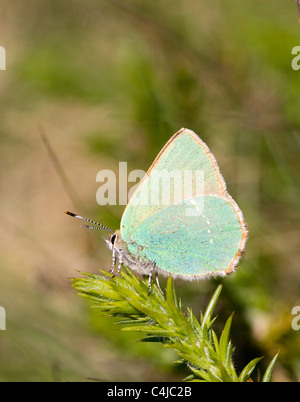 Green Hairstreak butterfly Callophrys rubi on Gorse  one of its many larval food plants - Stock Photo