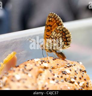 Rare Heath Fritillary butterfly Melitaea athalia feeding on a ham and tomato bagel in the photographer's lunch box - Stock Photo