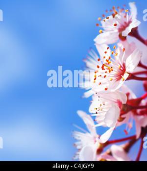 Cherry tree blossom flowers border over blue natural sky background, springtime - Stock Photo