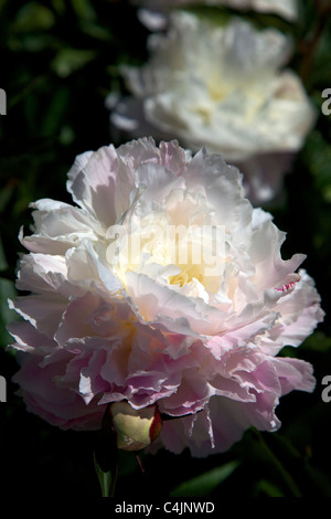 Paeonia Lactiflora 'Shirley Temple' Peony flowers in bloom in June - Stock Photo