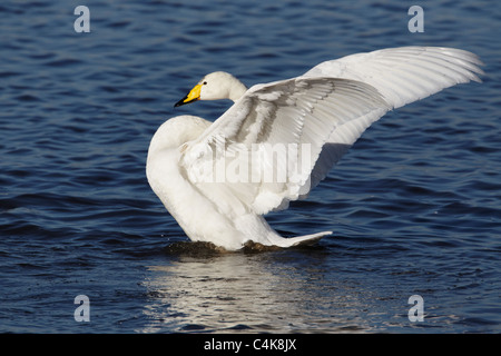 Whooper swan (Cygnus cygnus) flapping wings after washing - Stock Photo