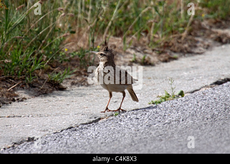 Crested lark at edge of road in Bulgaria - Stock Photo