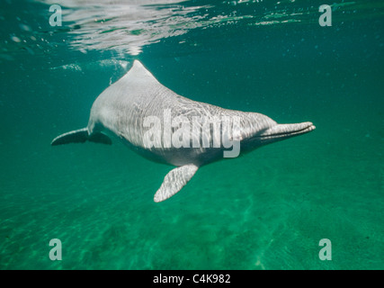 Indo-pacific Humpback Dolphin (Sousa chinensis) Shy, nocturnal hunter. Uncommon. - Stock Photo