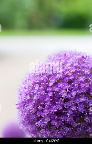 Allium 'Ambassador'. Ornament onions - Stock Photo