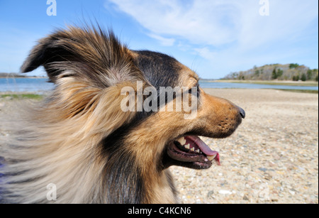 Profile of adult  long haired german shepherd dog sitting on the beach with mouth open smiling and ocean in background. - Stock Photo