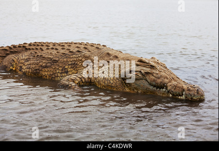 crocodile on Chamo Lake - Stock Photo
